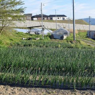 みがく農場のネギ畑