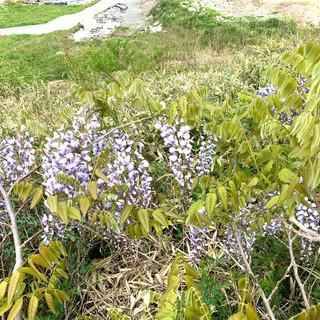 みがく農場の藤の花_5月