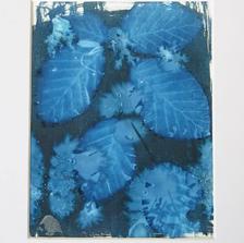 Beech in Blue