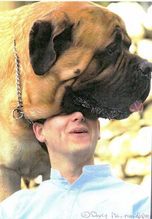 Faynad Mighty Murphy, one of thel largest ever Mastiffs