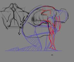 Golden - Anatomy