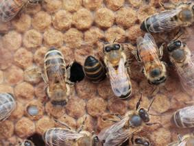 Europa prohibirá tres insecticidas letales para las abejas