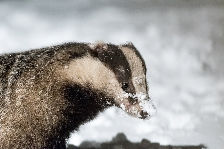 Badger, Protected Species