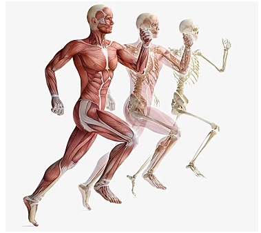 Collagen Peptides - Essential Tool for Musculoskeletal Health