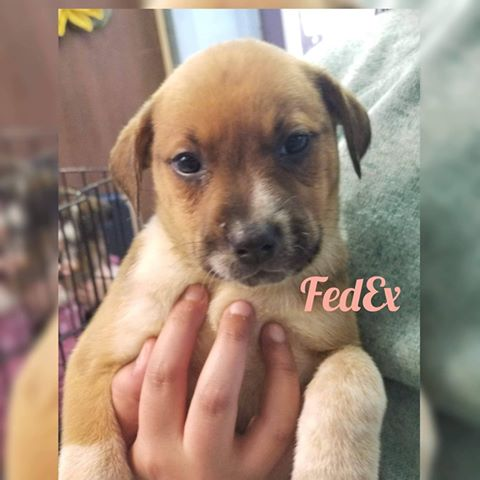 FedEx - 8 wk Heeler Mix - Female