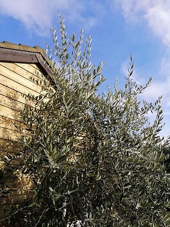 Olive Tree Wellbeing.jpg