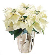 white-poinsettia.jpg