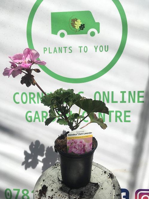 Geranium Dark Lavender