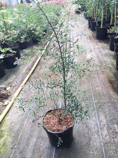 3L  Eucalyptus France bleu