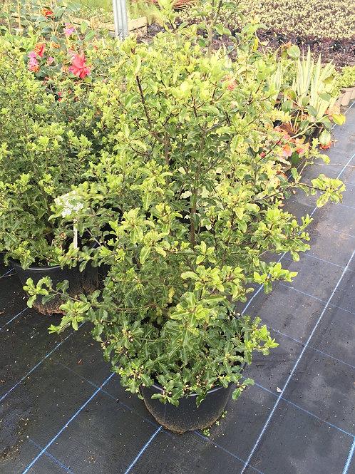15L  Pittosporum tenuifolium 'Arundel Green'