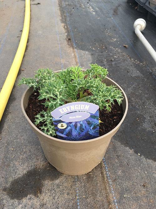 3L Eryngium bougatii Picos Blue 'Sea Holly'