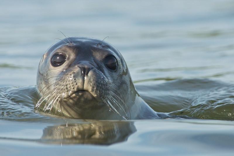 Seal, selkie, mermaid legends, Scotland