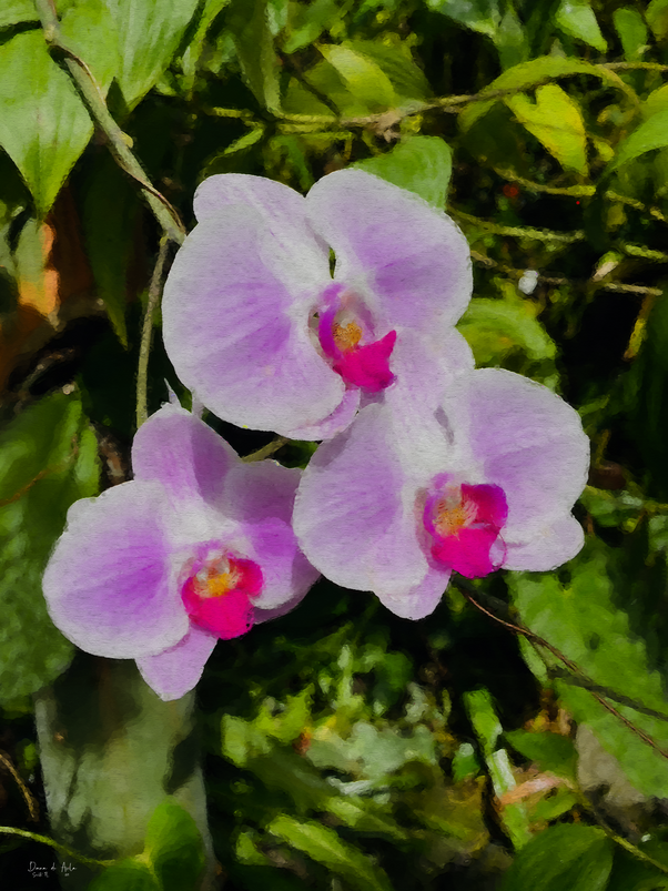 Pink Selby Orchids