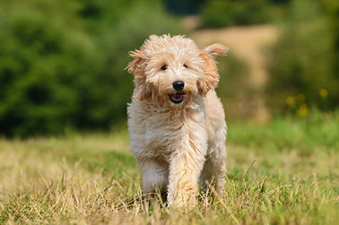 Goldendoodle Puppy Breeder in the United States