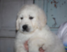 english teddybear goldendoodle puppies availalbe