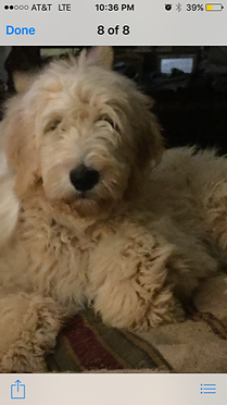 Goldendoodle Breeder near me