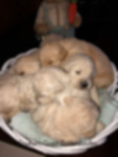Mulitgen Goldendoodle Puppy