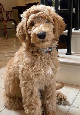 Best Goldendoodle Breeder