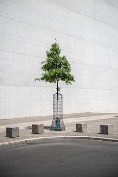 young oak tree in front of Paul Löbe Haus