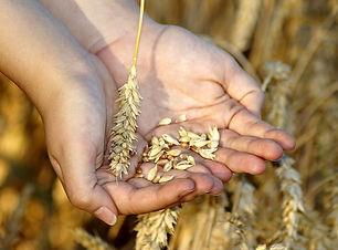 wheat-hands-grain-grains-keep-cereals.jp