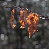 WINTER BEECH LEAVES by Neil Griffin.jpg