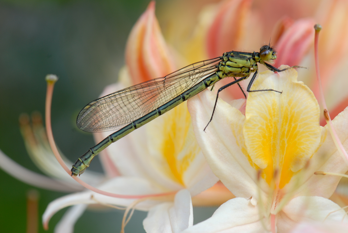 DRAGONFLY by Mohd Asif