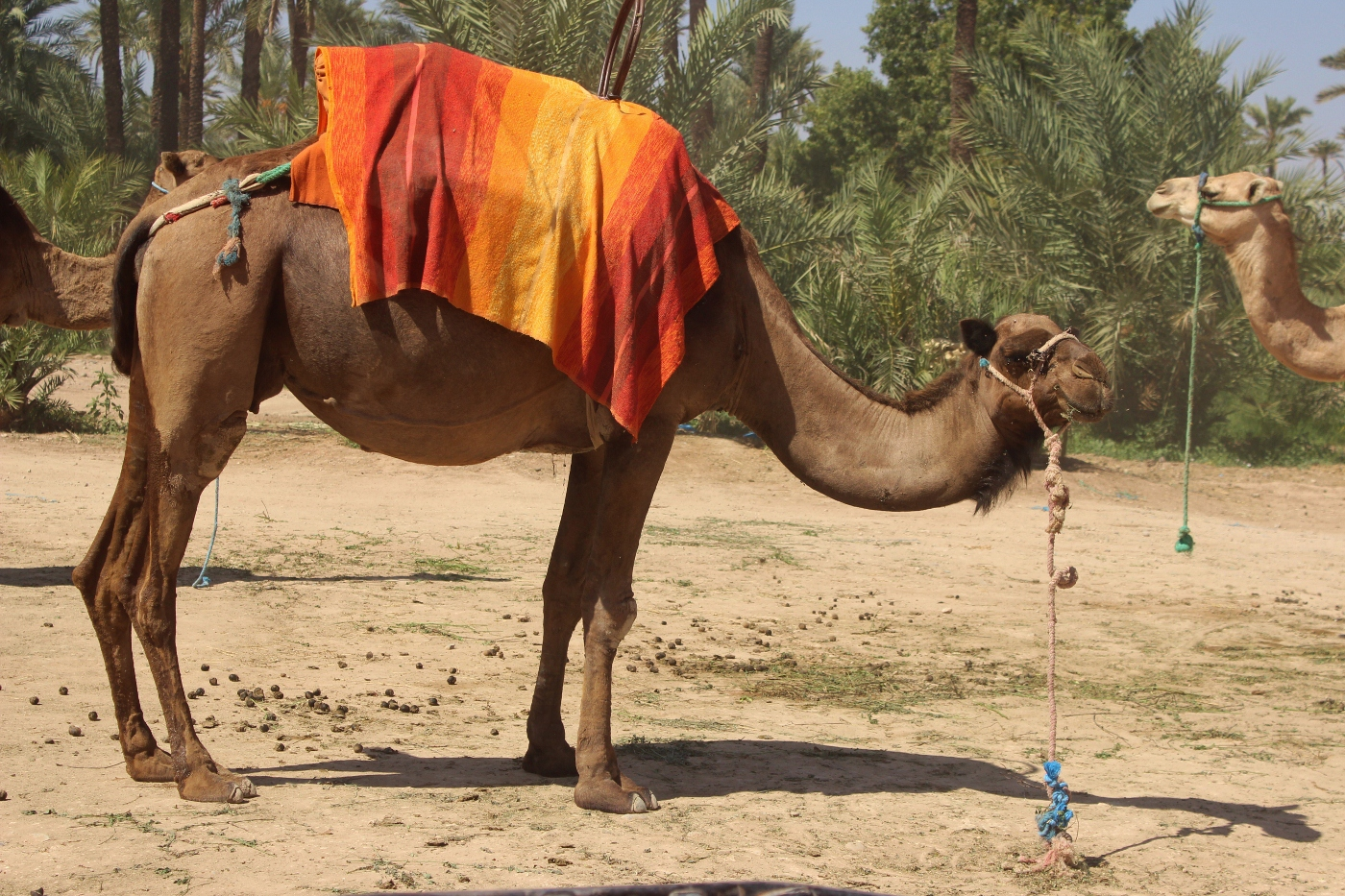 CAMEL by Sue Avey.jpg