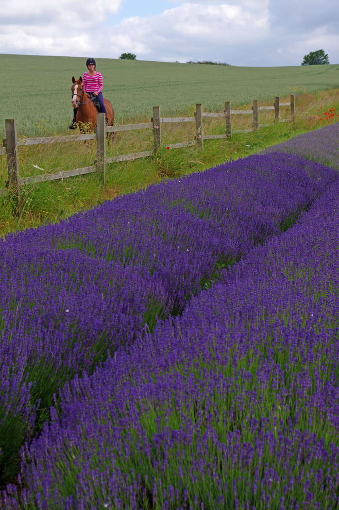 LAVENDER FIELD by terry cork