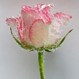 ROSE by Peter Morrish.jpg