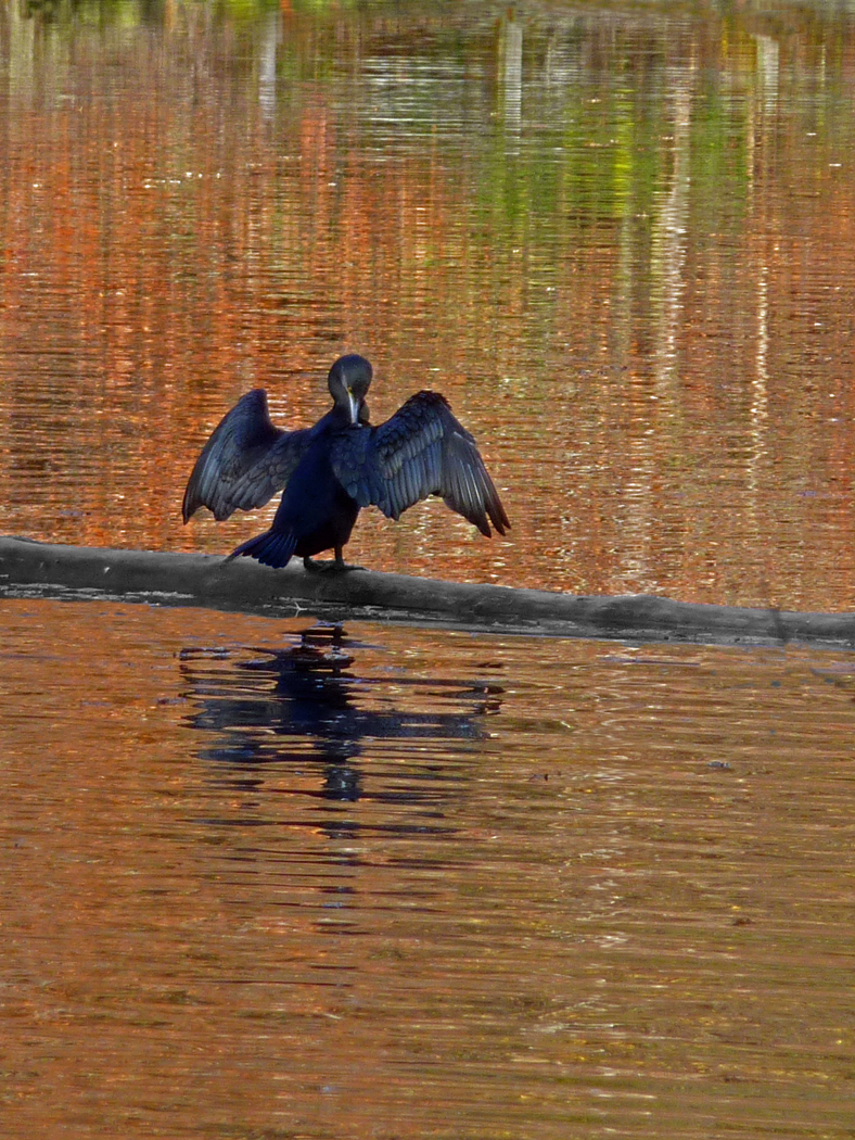 CORMORANT AT REST by Jim Chown