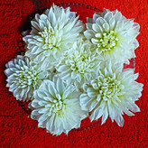 WHITE DAHLIA HEADS by Dave Taylor.jpg