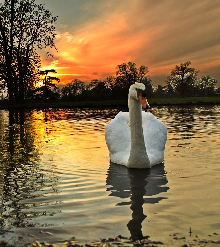 SWAN AT SUNSET by Rojer Weightman.jpg
