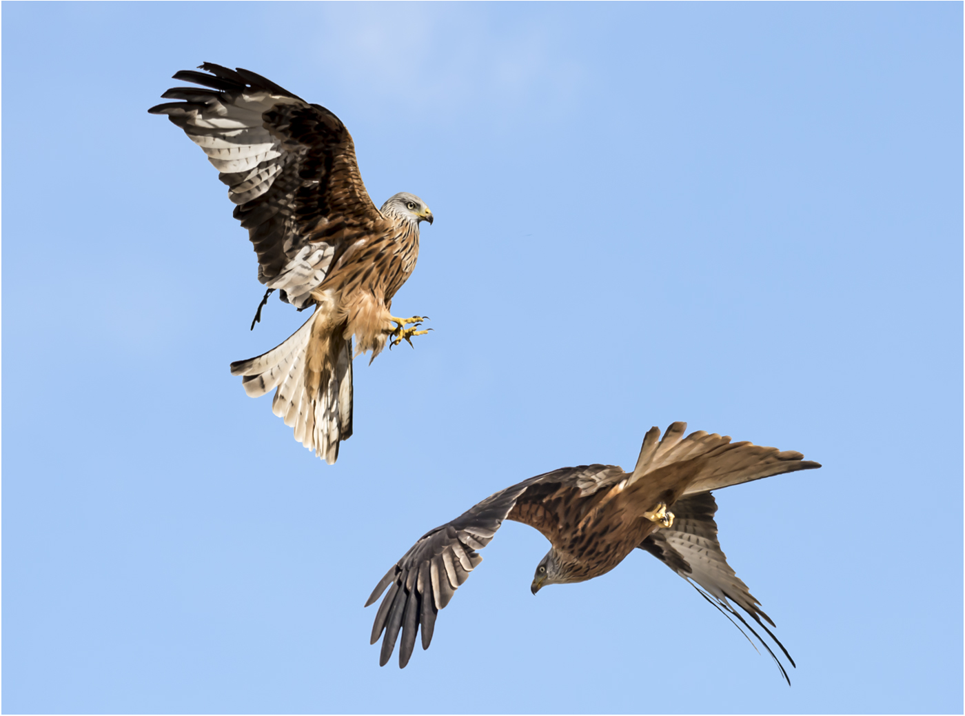 RED KITE ATTACK by Jerry Lake.jpg