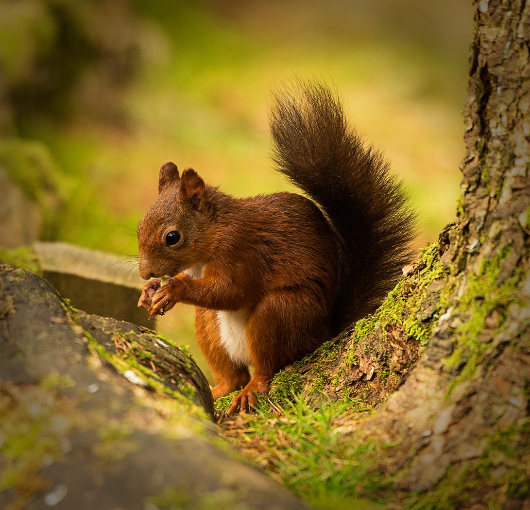 RED SQUIRREL by Gary Scorgie.jpg