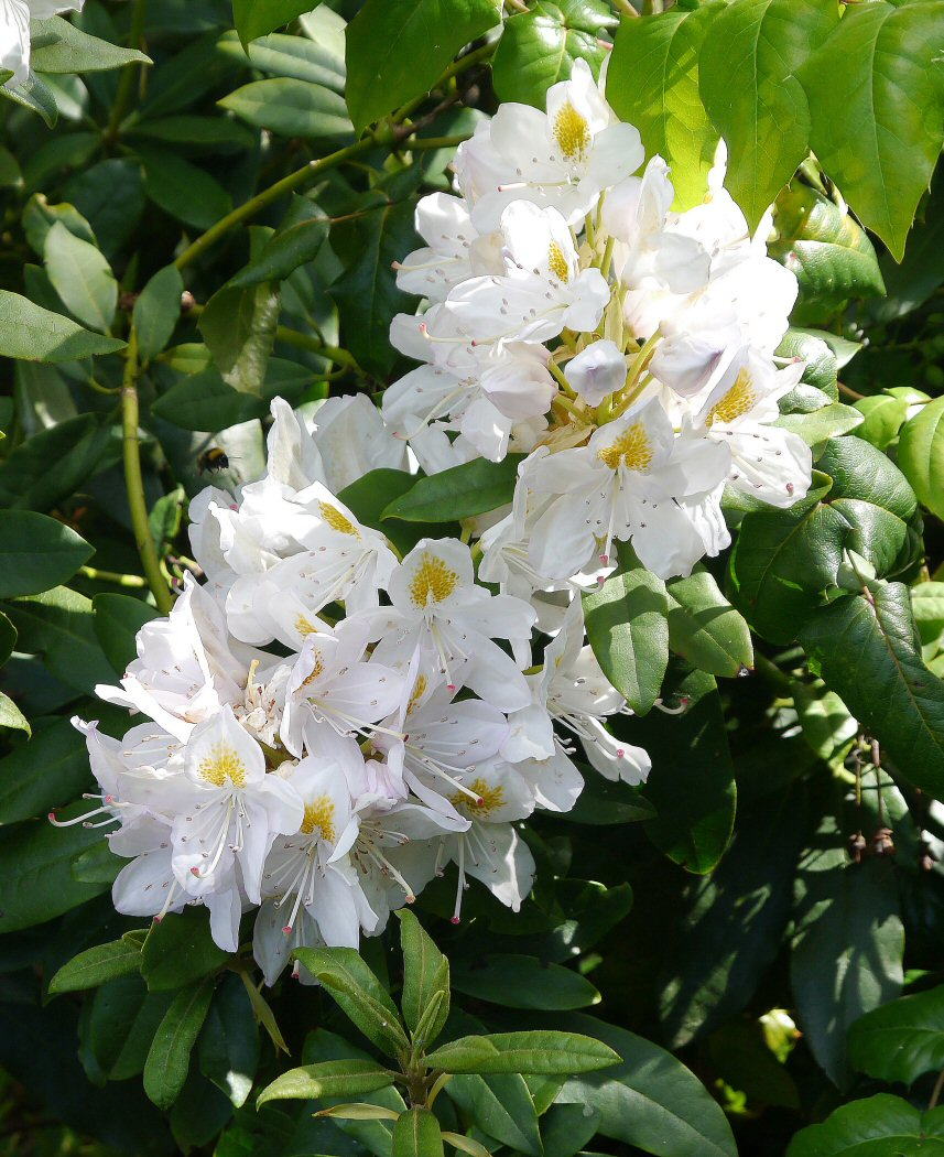 WHITE AZALEA  by John Crosson