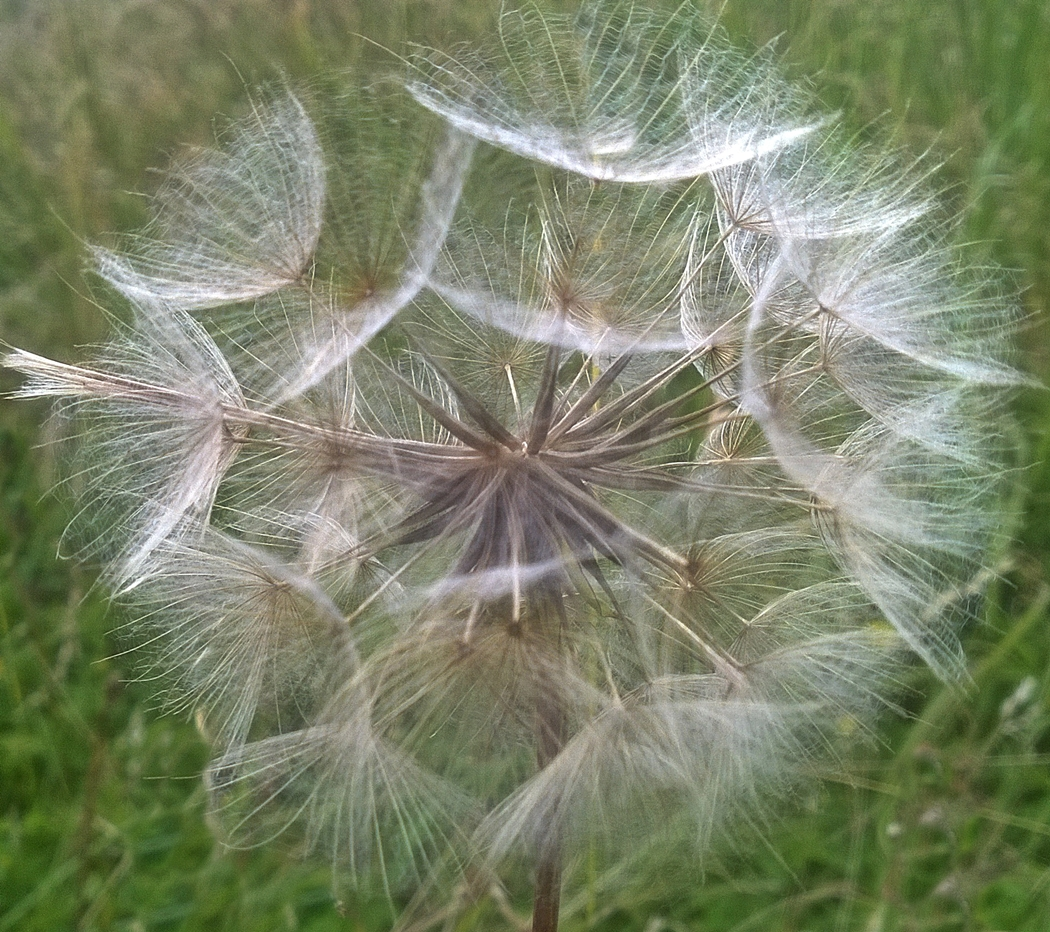 DANDELION HEAD by Rojer Weightman