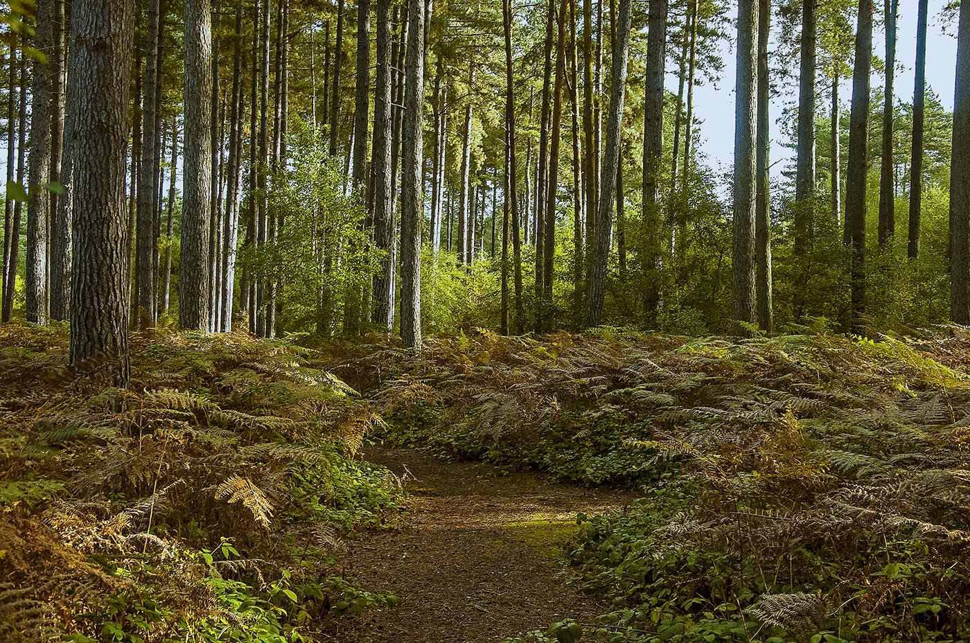THE PINE FOREST IN AUTUMN by Gary Scorgie.jpg
