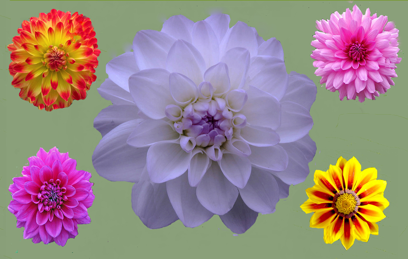 DAHLIAS DISPLAY by Dave Taylor