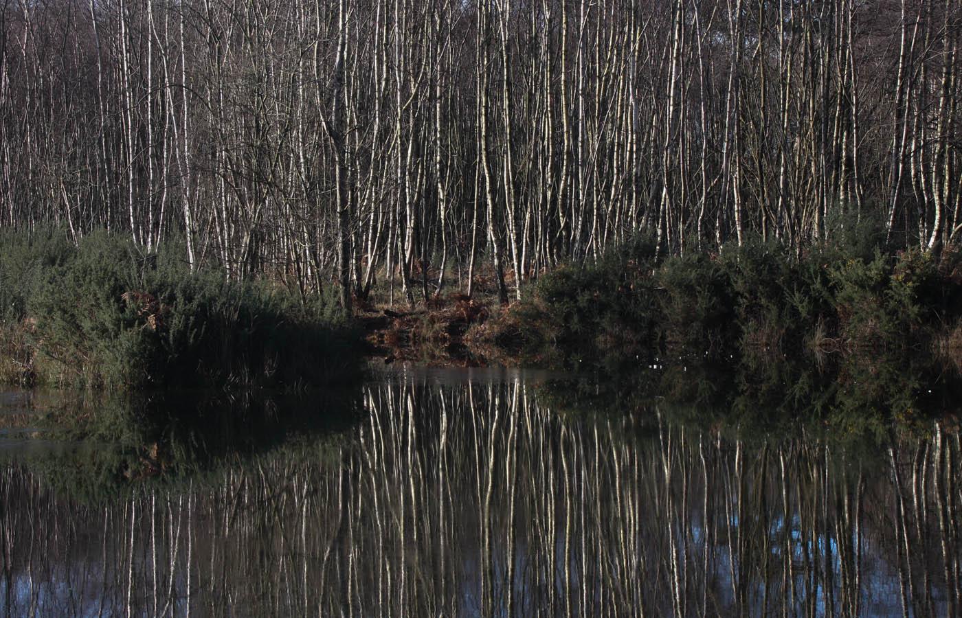 BIRCH FOREST by Philip Butterworth.jpg