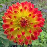 YELLOW AND ORANGE DAHLIA by Dave Taylor.