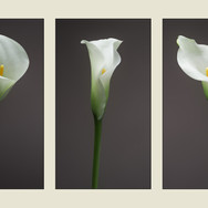 THREE LILLIES by Mark Collins.JPG