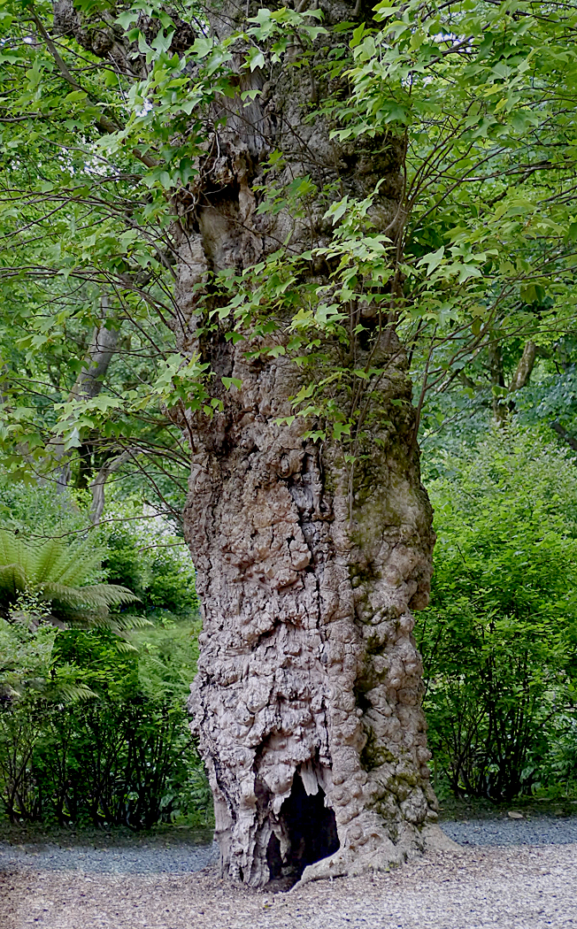 WELL AGED TREE  by Dave Taylor.jpg