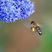 INDUSTRIOUS BEE by Keith Webb
