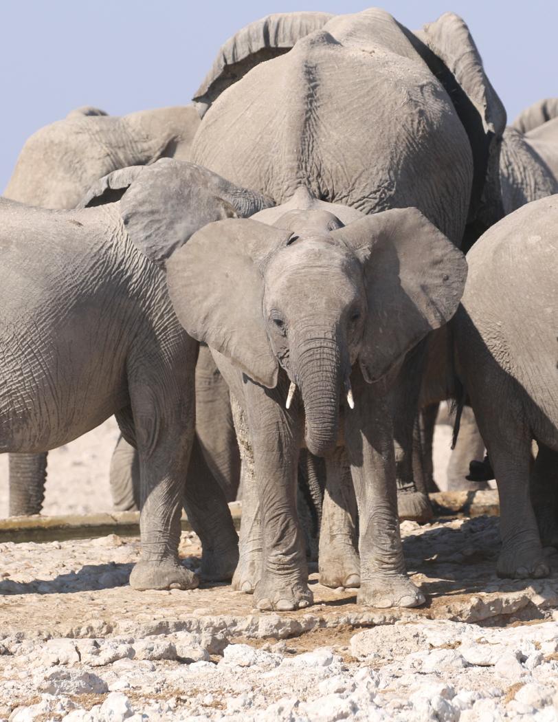 ELEPHANT FAMILY by Jane Sharp