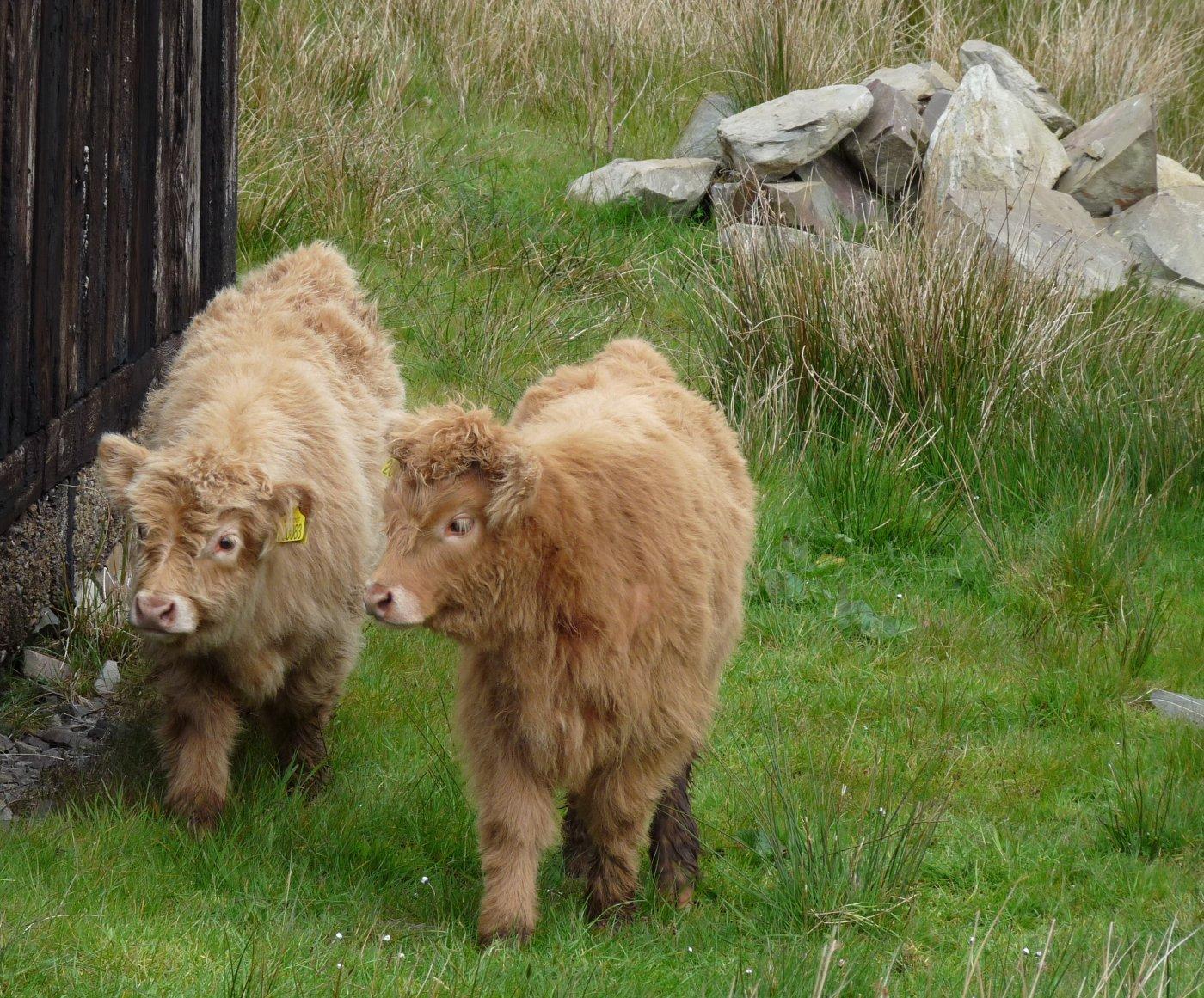Highland Calves by Jean Porter.jpg