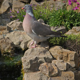 PIGEON ON  WATCH by Malcolm  Miles.jpg