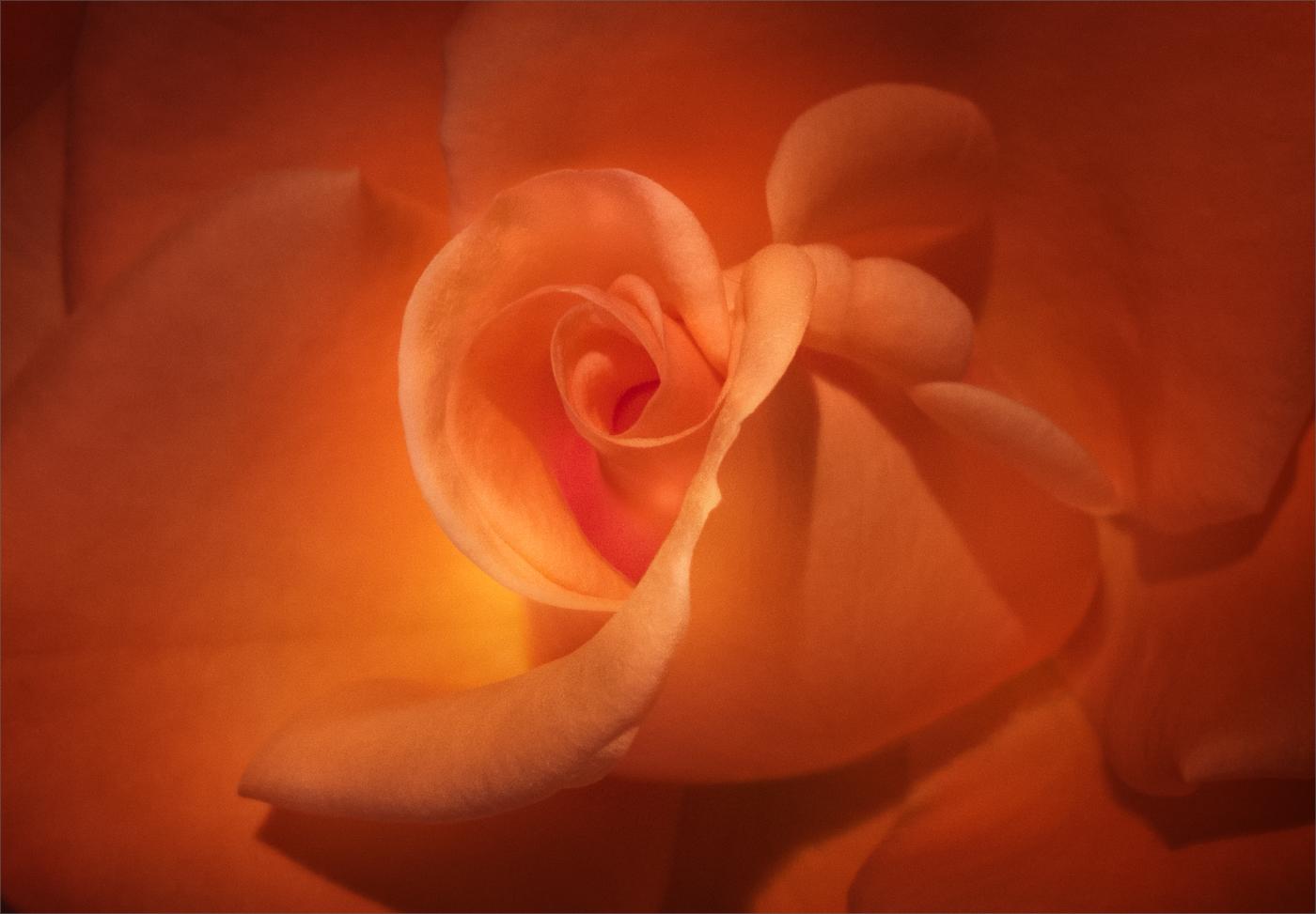 ORANGE ROSE by Ken Grant
