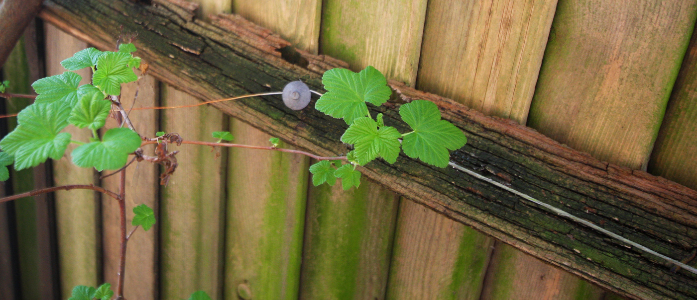 SPRING SHOOTS OVER FENCE DECAY by John Cano-Lopez.jpg