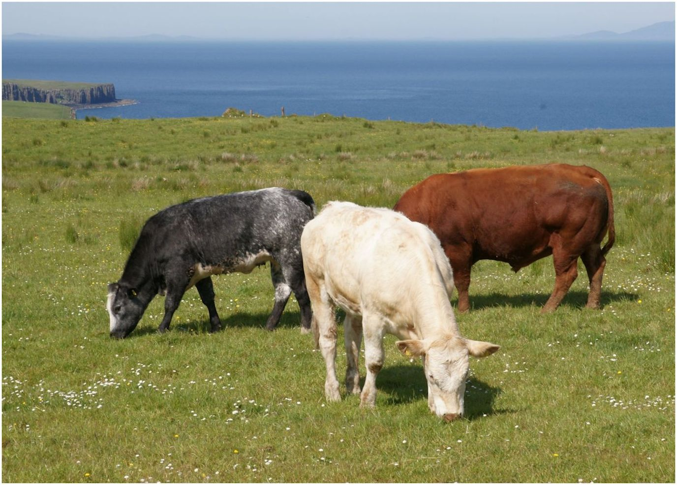 CORNIISH CATTLE  BY THE COAST by Jim Williams.jpg