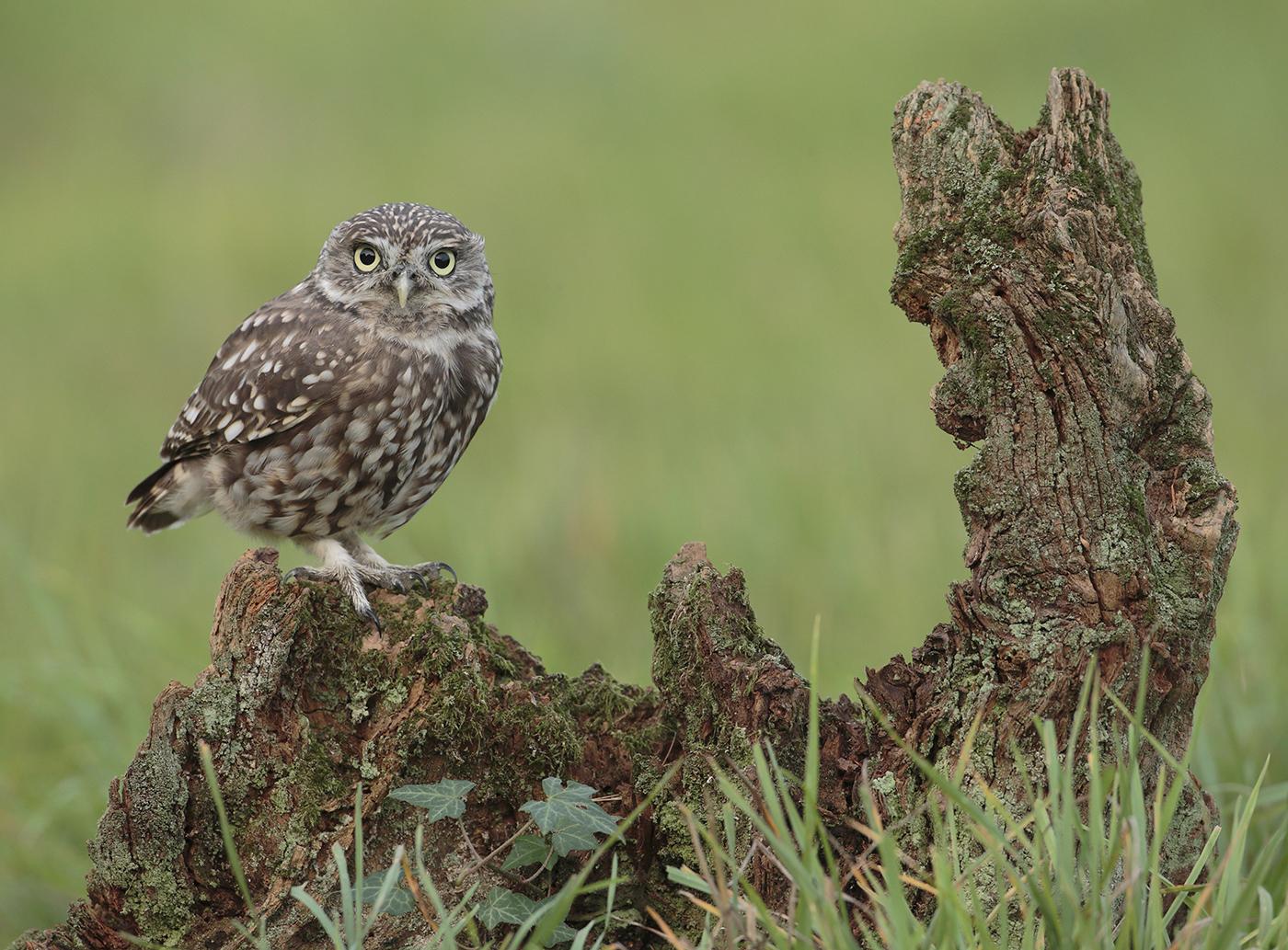 LITTLE OWL by Neil Neville.jpg